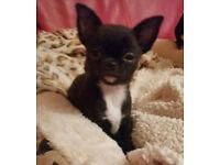 KC reg tini-mini chihuahua boy for sale