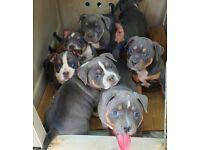 Stunning American Pocket Bully Pups !!!
