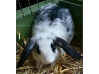 (4) Female Mini Lop Rabbit