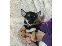 Gorgeous Little Boy Chihuahua Puppy For Sale. KC Registered. Friendly, Loving, Tiny. Gorgeous