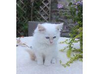 Handsome GCCF Registered Pedigree Ragdoll Kitten