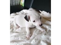 JACK RUSSELL PUPPIES FOR SALE ABSOLUTELY GORGEOUS