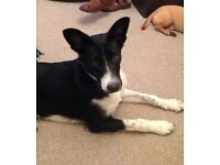 Beautiful border collie pup 5months old - need a loving home - offers