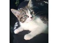 Stunning Cross Bengal tabby 9 weeks old kittens