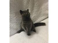 British Shorthair Pedigree Kittens Both available