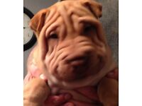 Shar Pei puppies ready now