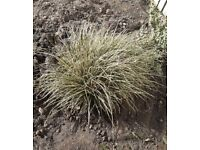 Garden decorative grass -Carex Evergold - Large