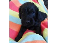 Double Doodle puppies **Ready 11th September 2016** Only 4 left