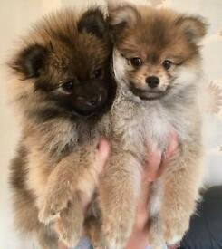 Exceptional quality KC Registered Teddy Bear Pomeranians