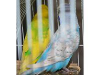 Beautiful and HappyBudgies for sale with Big Aviary
