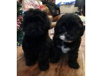 Shih Tzu X Poodle Boys