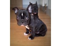 STUNNING KC FRENCH BULLDOG PUPPIES - READY TO GO TO A NEW HOME NOW!!!- 1 GIRL ONLY