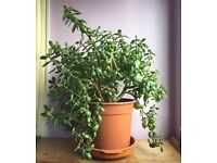 Large Money Plant