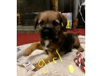 Border terrier pups. Ready now