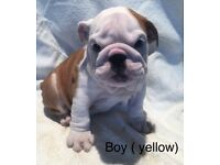 REDUCED REDUCED !!!!!!!!!! KC REG BULLDOG PUPPIES