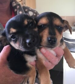 Terrier X chihuahua puppys