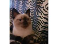 ragdoll/Persian cat kitten