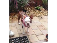 Boston terrier Red One year old Female