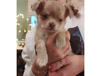 1 long haired Chihuahua Puppy, Boy and KC registered