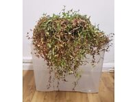 2 Varieties In 1 Pot Wandering Jew Trailing House Plant Tradescantia Fluminensis