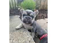 Gorgeous Lilac/Blue tan French bulldog pups, kc reg, health tested parents
