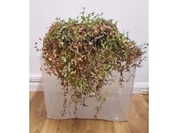 MUST GO Two Varieties In One Pot Wandering Jew Trailing House Plant Tradescantia Fluminensis