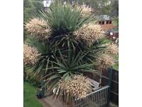 6ft (170cm) Cordyline Australis (Cabbage Palm) £50 ono