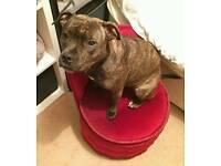 Staffie dog