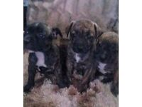 Pure Staffy puppies for sale
