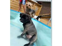 PUG puppy-toilet trained great with kids
