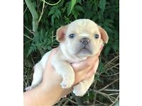 3 x KC Reg French Bulldog Puppies (Quad carriers)- Platiniums, lilac, cream