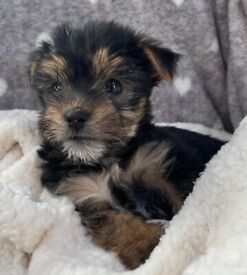 2 gorgeous morkie boys looking for new homes
