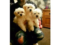 3 girl maltese cross bichon puppies 13 weeks ok microchiped and all there vaccinations