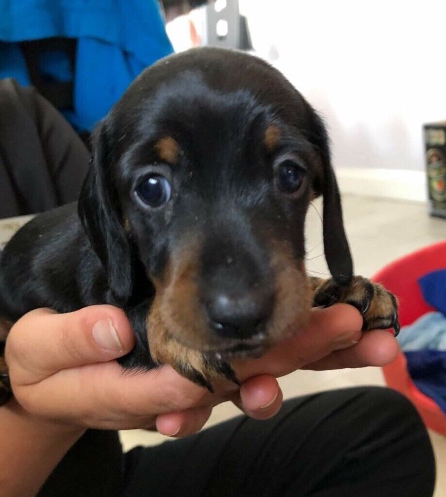 Gorgeous miniature dachshunds puppies READY NOW | in Penlan, Swansea |  Gumtree