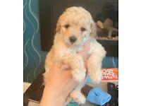 1 Poochon female puppy left