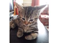 2 bengal kittens 11 weeks old ready for new home
