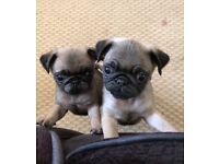 2 small KC pug puppies 8 weeks old