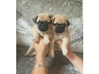 Stunning BLUE AND TAN carrier Pugs