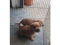 Jack russell x yorkie
