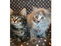 Very cute Runnian Blue Grey Fluffy kittens de-flead n de-wormed