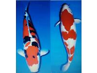 Koi Sale - Sanke (black red and white) and Kohaku (white and red)