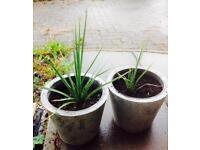Two Cordylines in metal pots