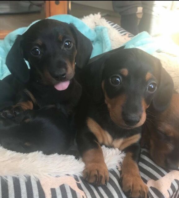 4 Beautiful miniature Dachshund Puppies | in Torquay, Devon | Gumtree