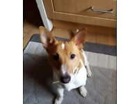 Jack Russell for Sale !!