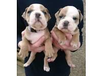 Old english bulldog puppies