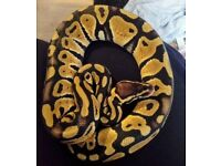 Pastel Royal Python Male w/ hide and bowl