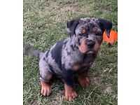Old tyme English bulldog X Rottweiler merl colours NO TIME WASTERS