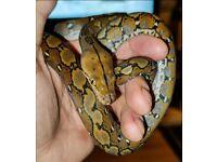 Super Dwarf Retic snake