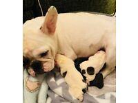 2 Gorgeous male brown French bulldog pups
