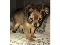 Rare breed - Moscow toy terrier puppies available for sale